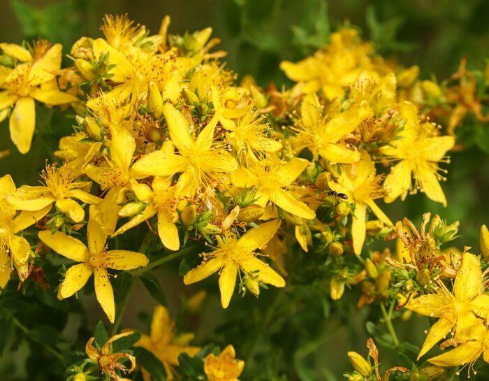 Iperico: un piccolo fiore, tante buone proprietà